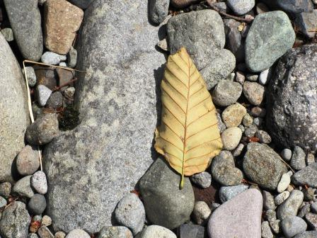Image of a dried leaf on rocky shore.