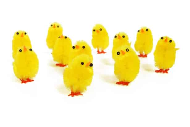 Picture of yellow chicks